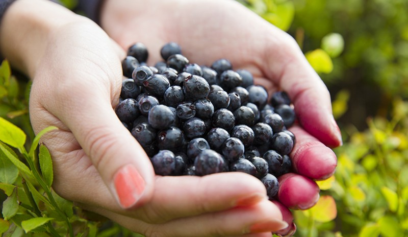 Blueberries Are Small but Offer Big Health Benefits