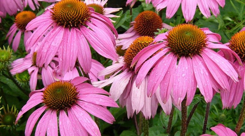 Echinacea -- Its Sources, Benefits and Uses | Featured Product