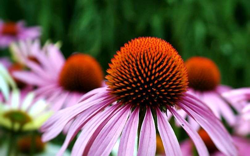 Echinacea Viewed as a Panacea for Whatever Ails You