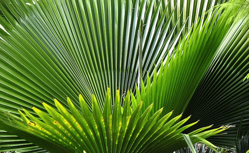Saw Palmetto -- Sources, Benefits and Uses | Featured Product