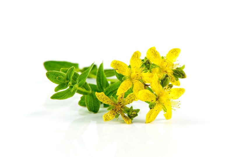 St. John's Wort -- Its Sources, Benefits and Uses | Featured Product