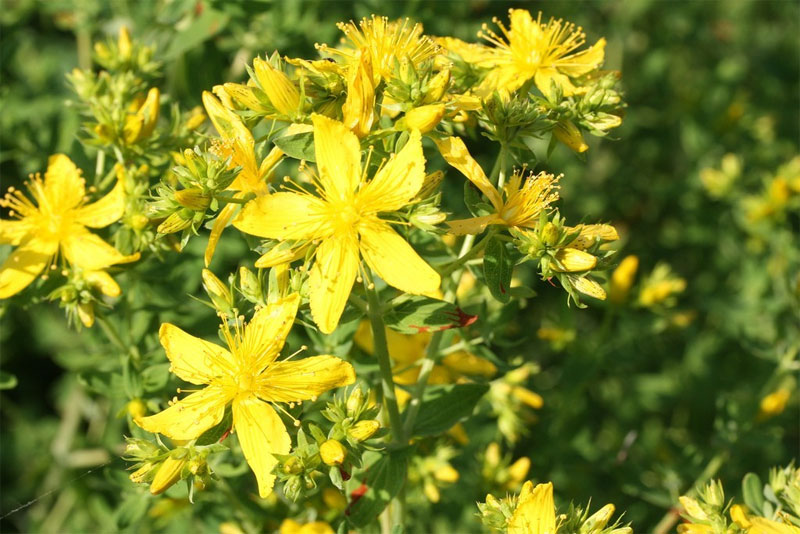 St. John's Wort's Benefits Go Beyond Mood Enhancement