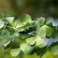Gingko -- Its Sources, Benefits and Uses | Featured Product